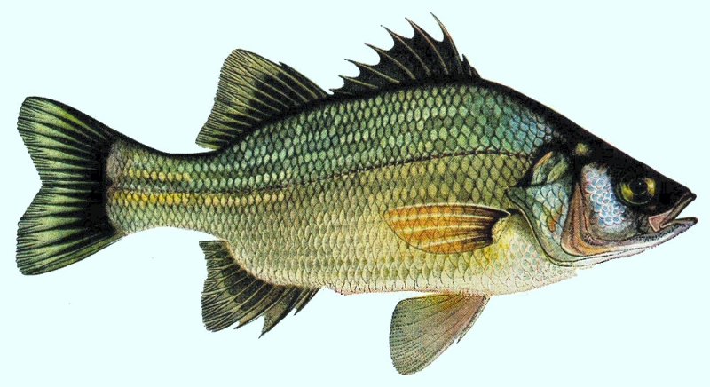 The fish of the month perch welcome to the greatest for White perch fish